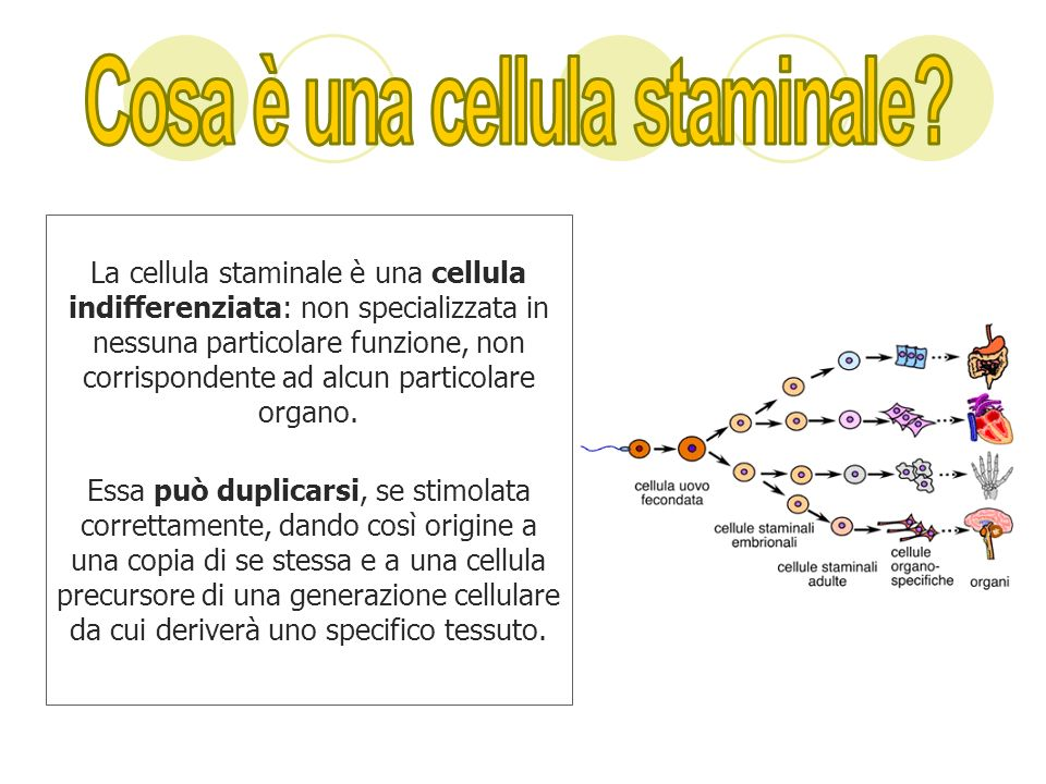 Cosa è una cellula staminale