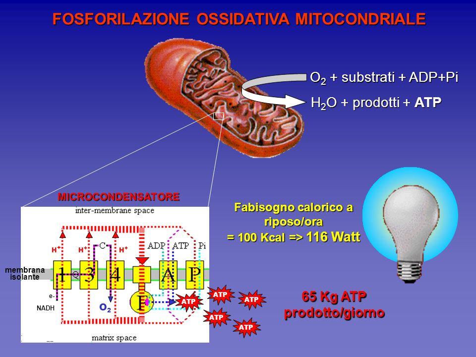 Fabisogno calorico a riposo/ora 65 Kg ATP prodotto/giorno