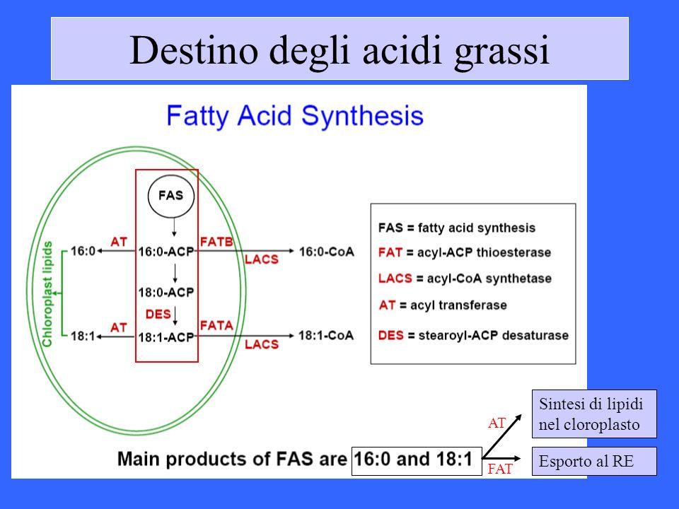 Destino degli acidi grassi