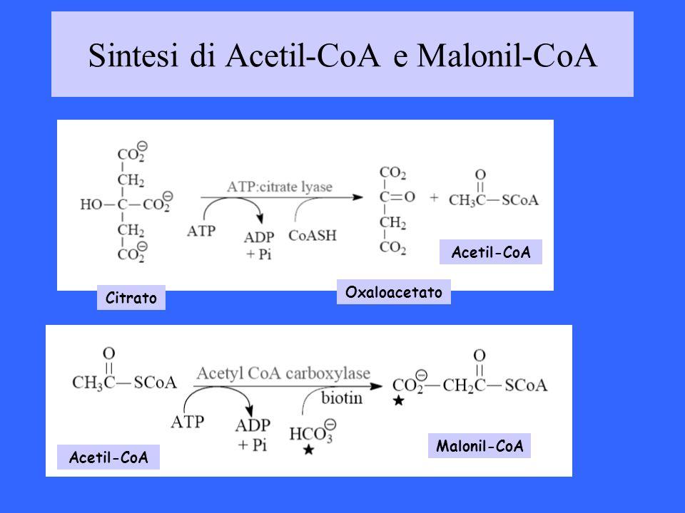 Sintesi di Acetil-CoA e Malonil-CoA