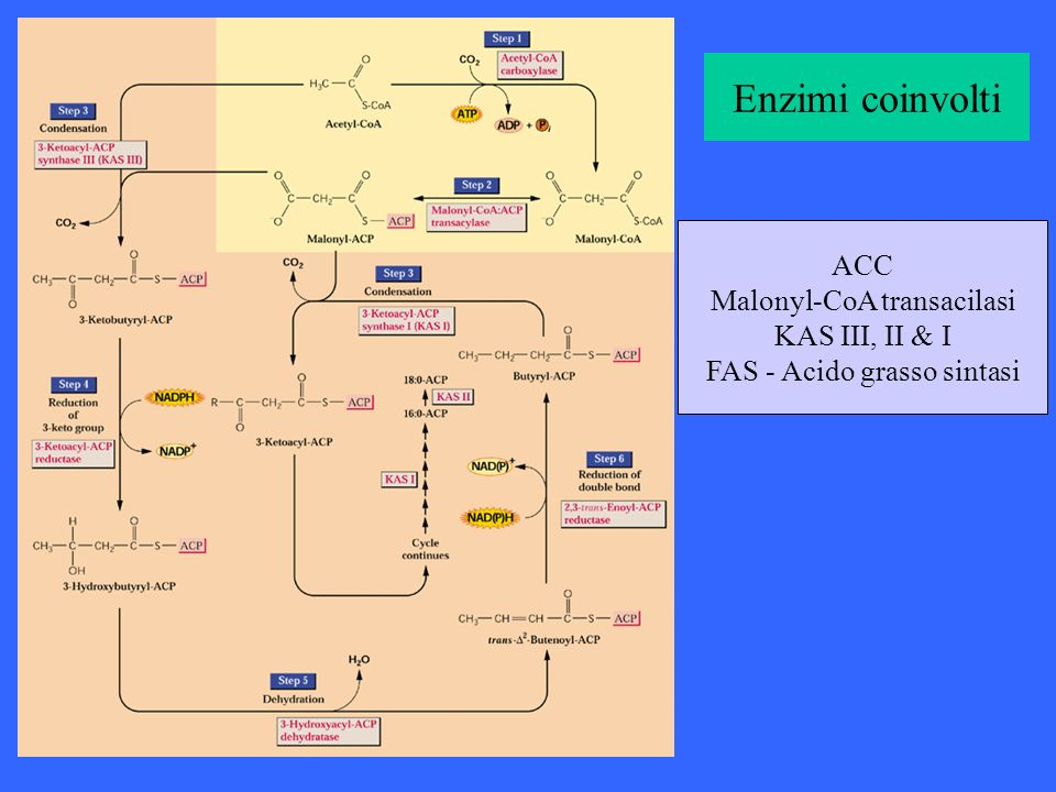 Enzimi coinvolti ACC Malonyl-CoA transacilasi KAS III, II & I