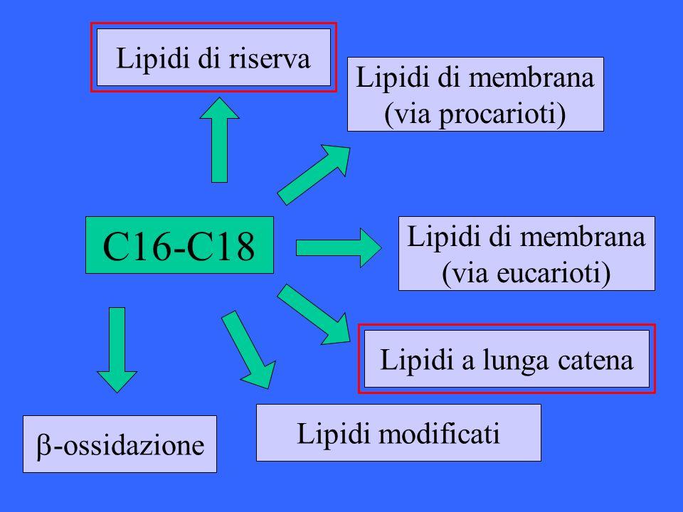 C16-C18 Lipidi di riserva Lipidi di membrana (via procarioti)