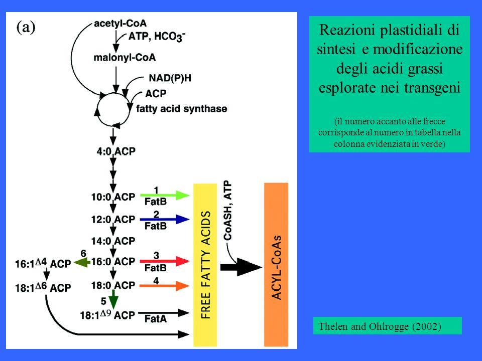 Reazioni plastidiali di sintesi e modificazione degli acidi grassi esplorate nei transgeni (il numero accanto alle frecce corrisponde al numero in tabella nella colonna evidenziata in verde)
