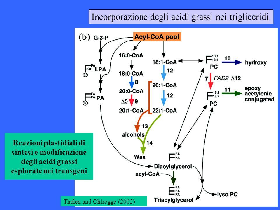 Incorporazione degli acidi grassi nei trigliceridi
