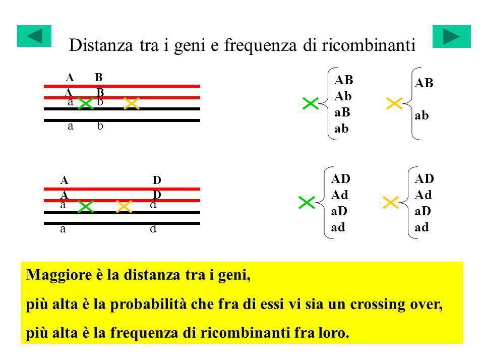 Distanza tra i geni e frequenza di ricombinanti
