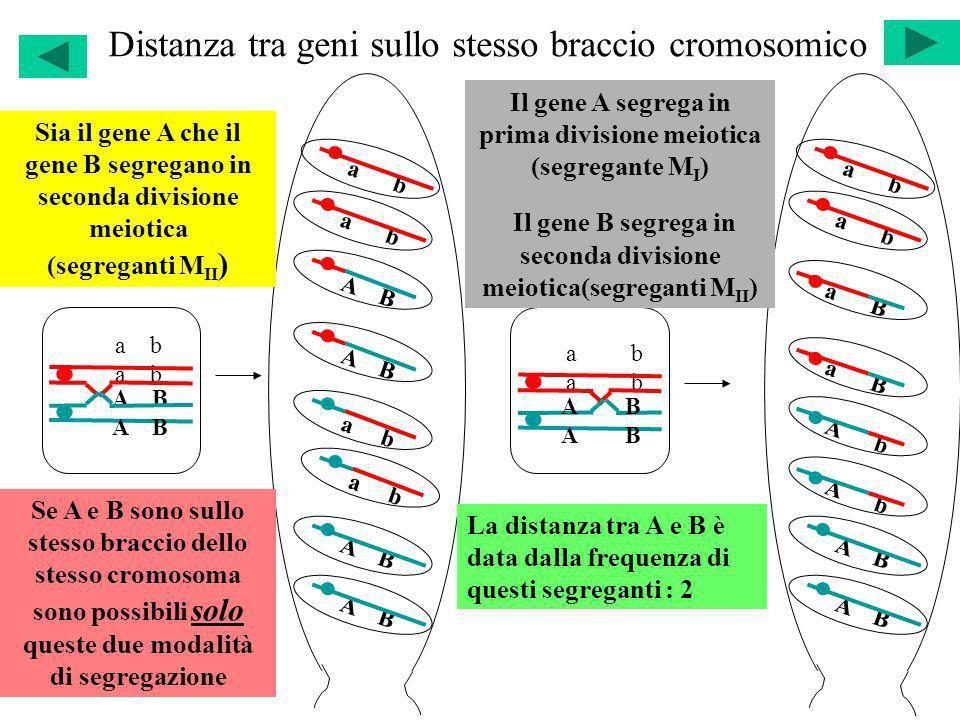 Distanza tra geni sullo stesso braccio cromosomico