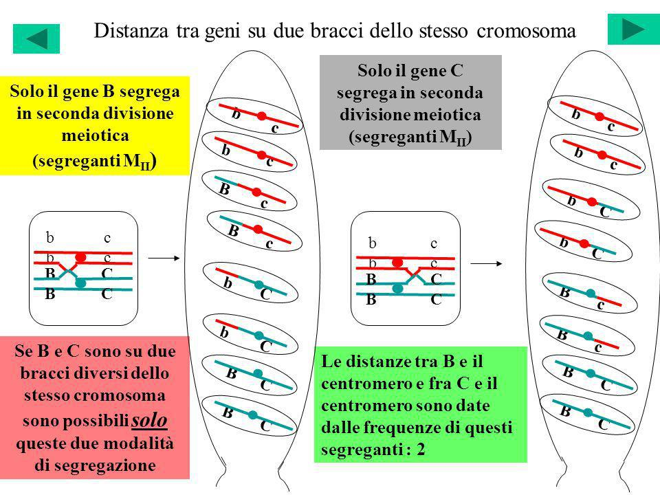 Distanza tra geni su due bracci dello stesso cromosoma