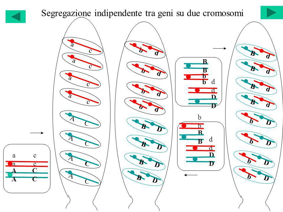 Segregazione indipendente tra geni su due cromosomi