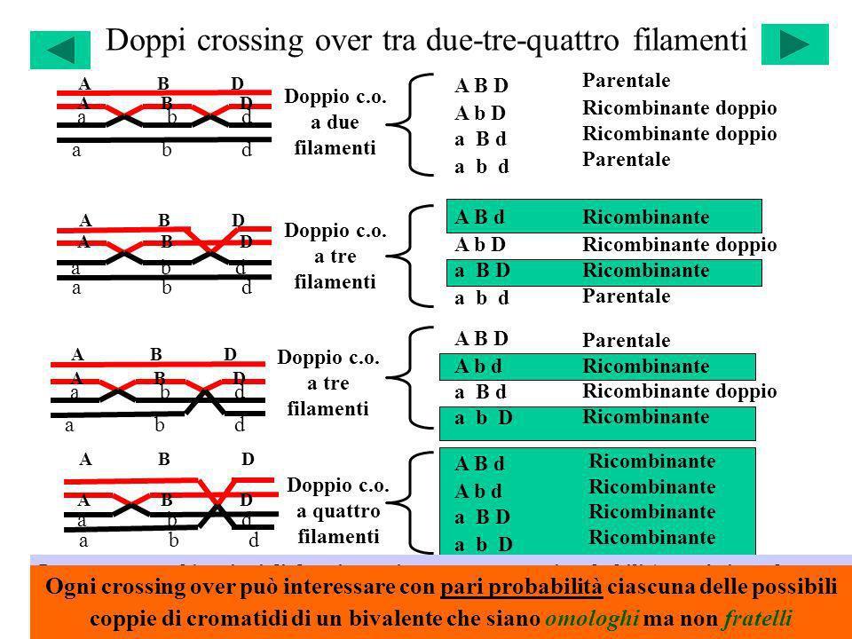 Doppi crossing over tra due-tre-quattro filamenti