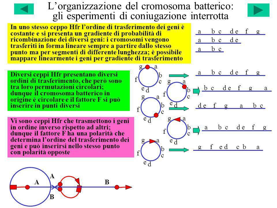 L'organizzazione del cromosoma batterico: gli esperimenti di coniugazione interrotta