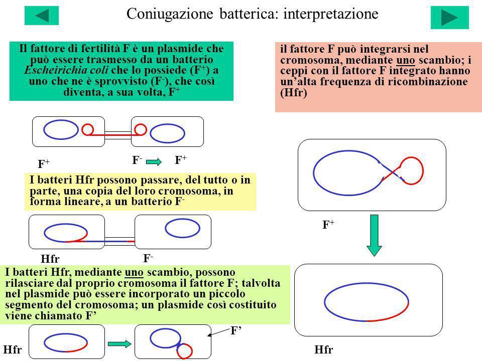 Coniugazione batterica: interpretazione