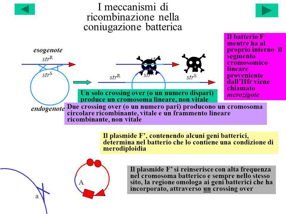 I meccanismi di ricombinazione nella coniugazione batterica