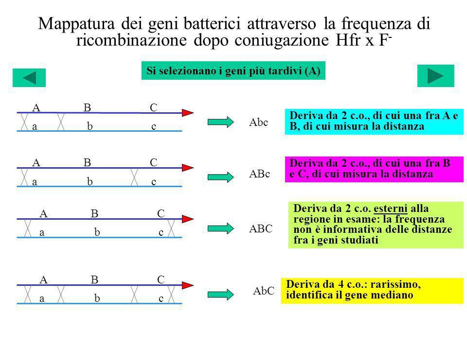 Mappatura dei geni batterici attraverso la frequenza di ricombinazione dopo coniugazione Hfr x F-
