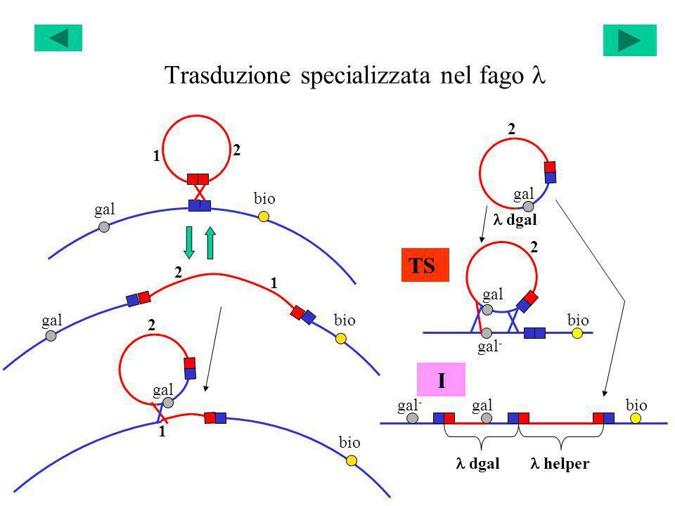 Trasduzione specializzata nel fago l