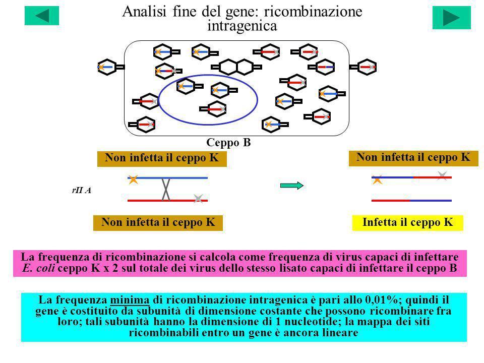 Analisi fine del gene: ricombinazione intragenica