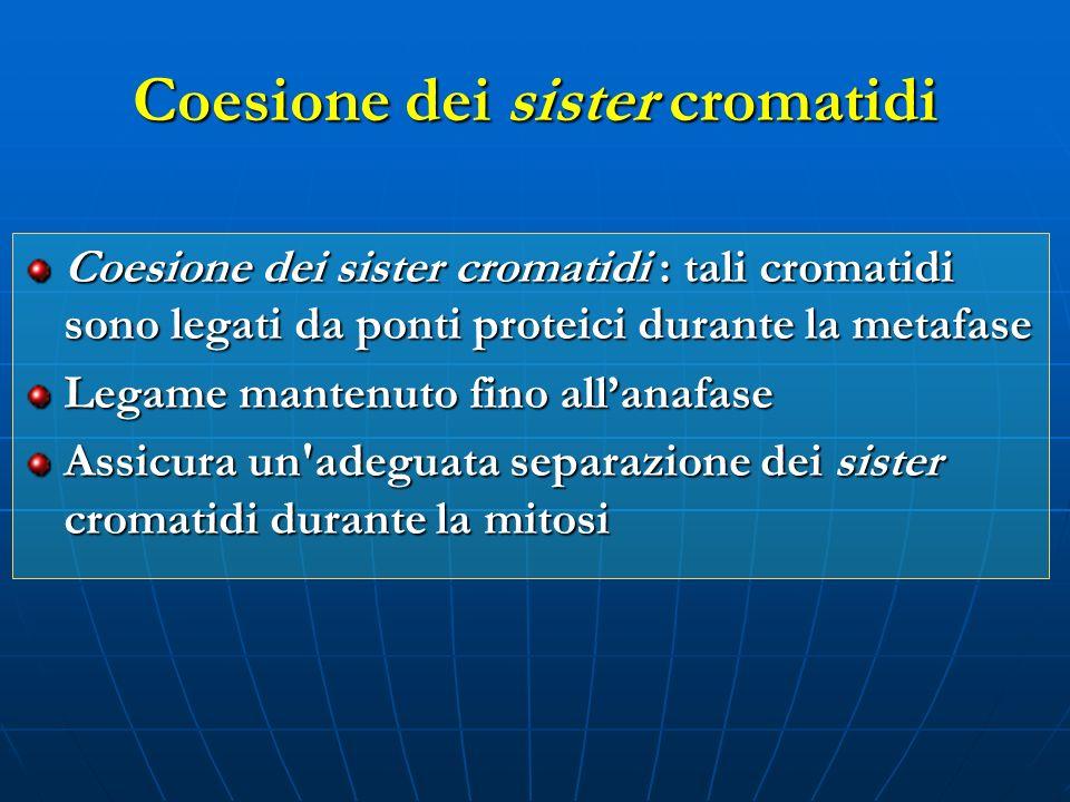Coesione dei sister cromatidi