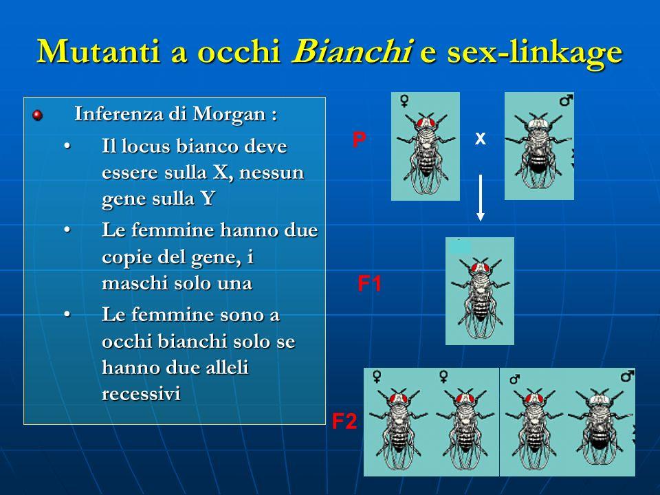 Mutanti a occhi Bianchi e sex-linkage