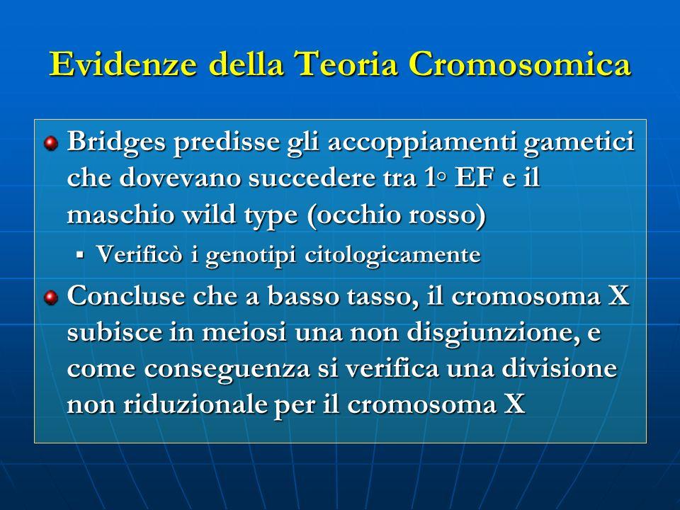 Evidenze della Teoria Cromosomica