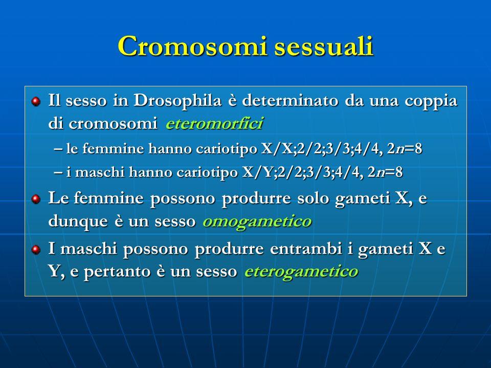 Cromosomi sessuali Il sesso in Drosophila è determinato da una coppia di cromosomi eteromorfici. – le femmine hanno cariotipo X/X;2/2;3/3;4/4, 2n=8.
