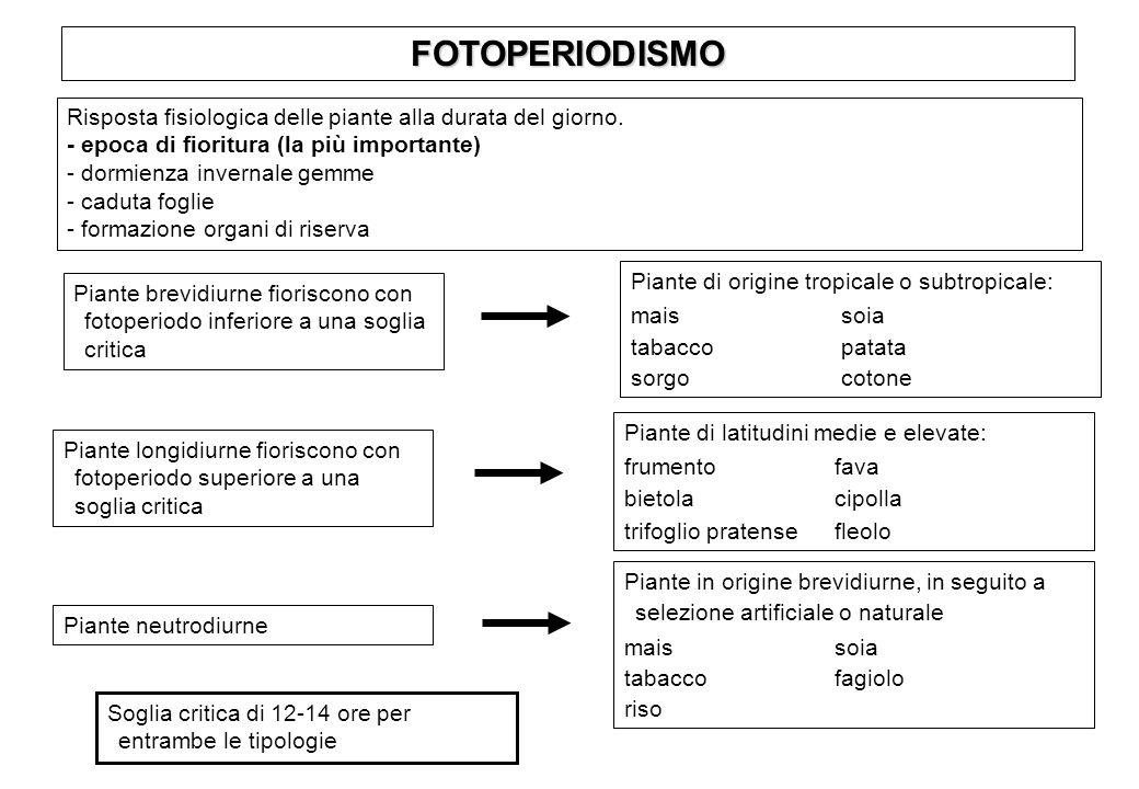 FOTOPERIODISMO Risposta fisiologica delle piante alla durata del giorno. - epoca di fioritura (la più importante)