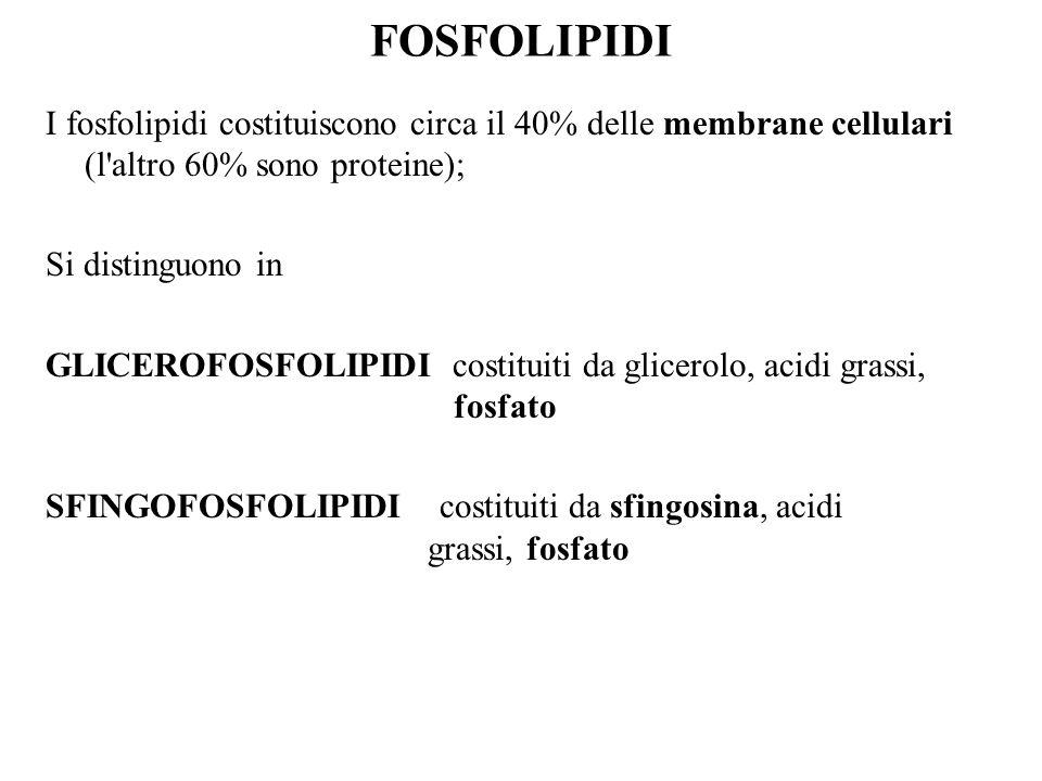 FOSFOLIPIDI I fosfolipidi costituiscono circa il 40% delle membrane cellulari (l altro 60% sono proteine);