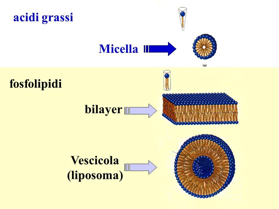 acidi grassi Micella fosfolipidi bilayer Vescicola (liposoma)