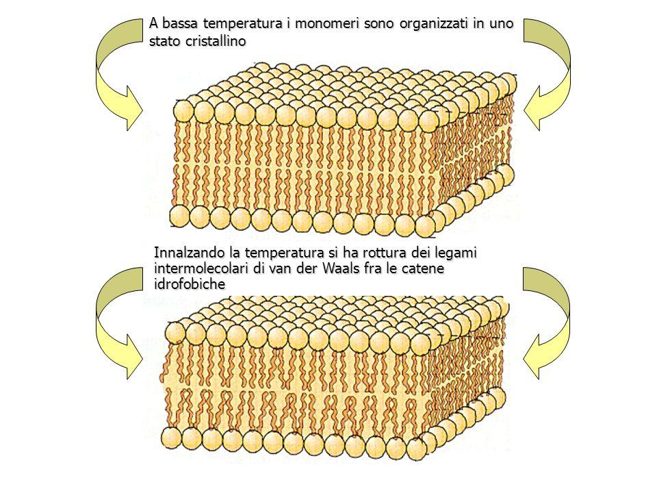 A bassa temperatura i monomeri sono organizzati in uno stato cristallino
