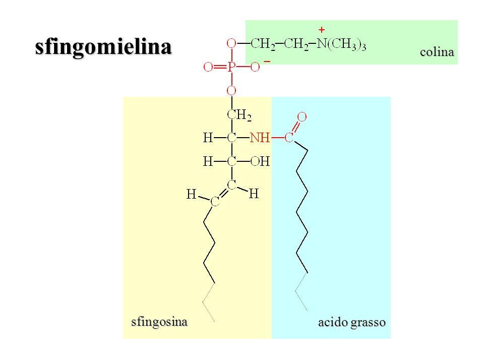 colina sfingomielina sfingosina acido grasso