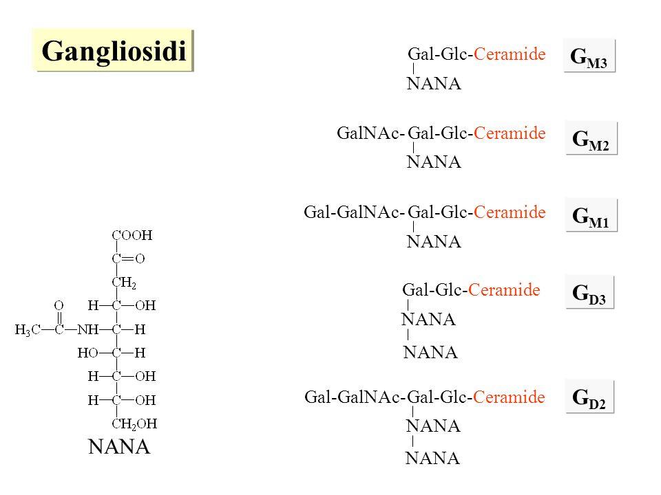 Gangliosidi GM3 GM2 GM1 GD3 GD2 NANA Gal-Glc-Ceramide NANA