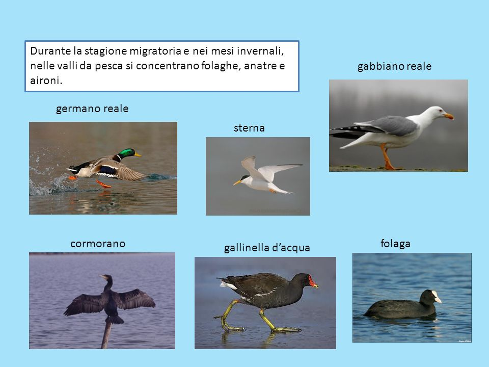 Durante la stagione migratoria e nei mesi invernali, nelle valli da pesca si concentrano folaghe, anatre e aironi.