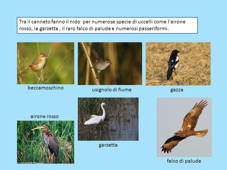 Tra il canneto fanno il nido per numerose specie di uccelli come l airone rosso, la garzetta , il raro falco di palude e numerosi passeriformi.