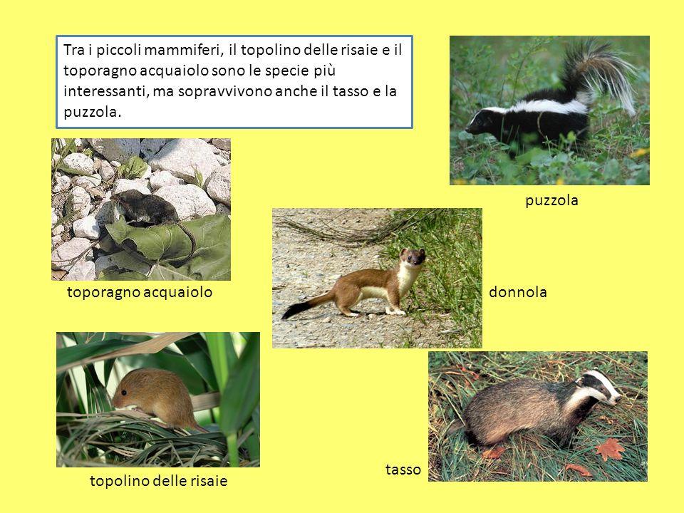 Tra i piccoli mammiferi, il topolino delle risaie e il toporagno acquaiolo sono le specie più interessanti, ma sopravvivono anche il tasso e la puzzola.