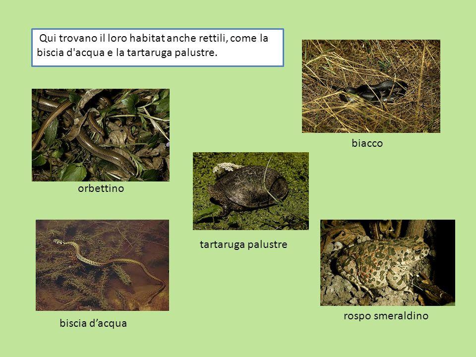 Qui trovano il loro habitat anche rettili, come la biscia d acqua e la tartaruga palustre.