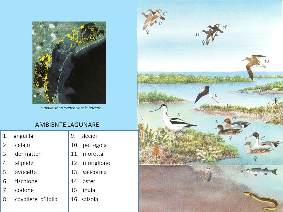 AMBIENTE LAGUNARE anguilla cefalo dermatteri aliplide avocetta