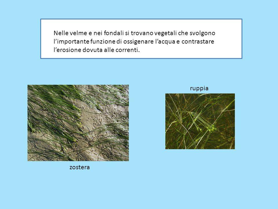 Nelle velme e nei fondali si trovano vegetali che svolgono l'importante funzione di ossigenare l'acqua e contrastare l'erosione dovuta alle correnti.