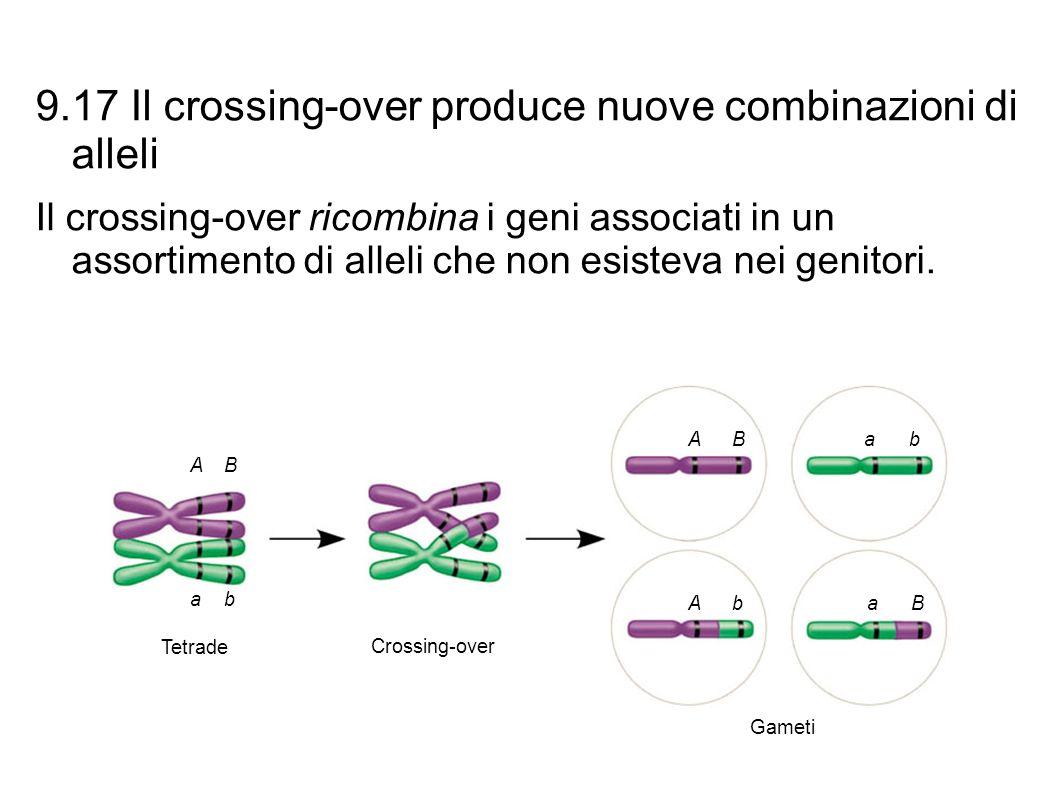 9.17 Il crossing-over produce nuove combinazioni di alleli