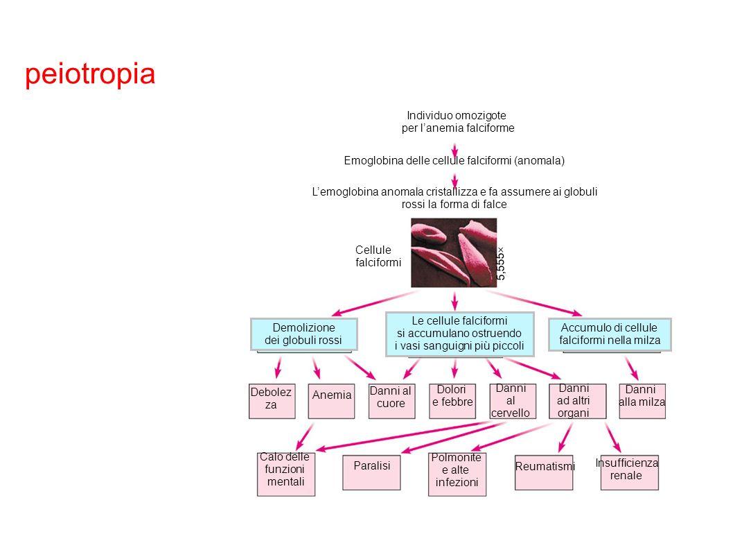 peiotropia Individuo omozigote. per l'anemia falciforme. L'emoglobina anomala cristallizza e fa assumere ai globuli rossi la forma di falce.