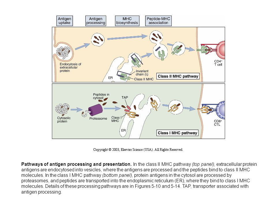 Pathways of antigen processing and presentation