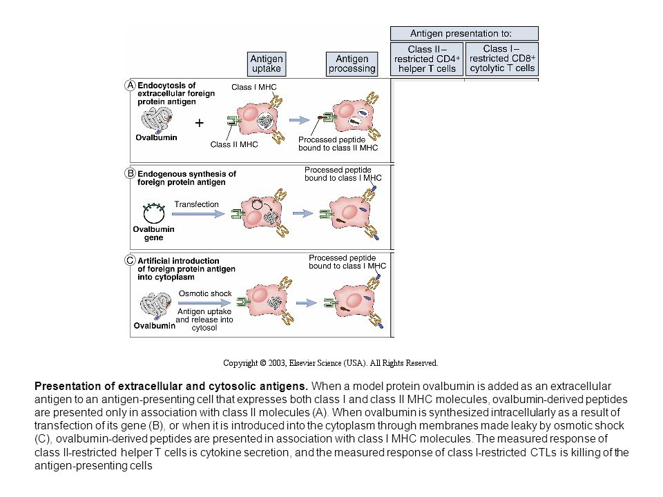 Presentation of extracellular and cytosolic antigens