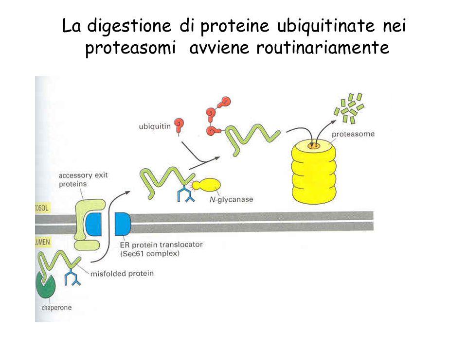 La digestione di proteine ubiquitinate nei