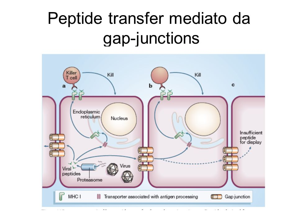 Peptide transfer mediato da gap-junctions