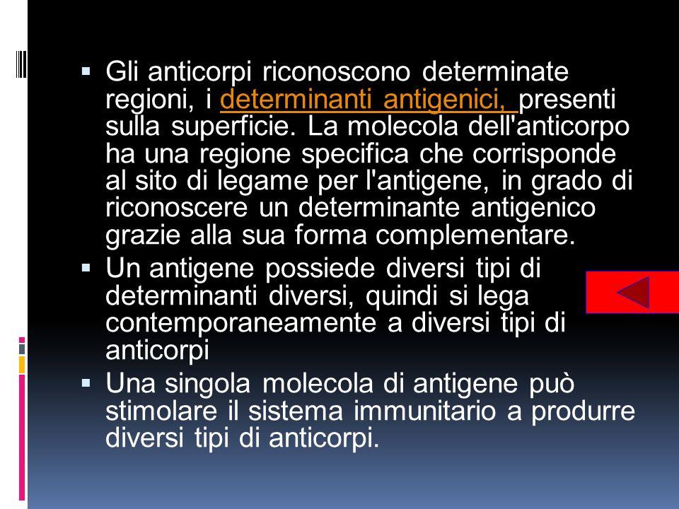 Gli anticorpi riconoscono determinate regioni, i determinanti antigenici, presenti sulla superficie. La molecola dell anticorpo ha una regione specifica che corrisponde al sito di legame per l antigene, in grado di riconoscere un determinante antigenico grazie alla sua forma complementare.