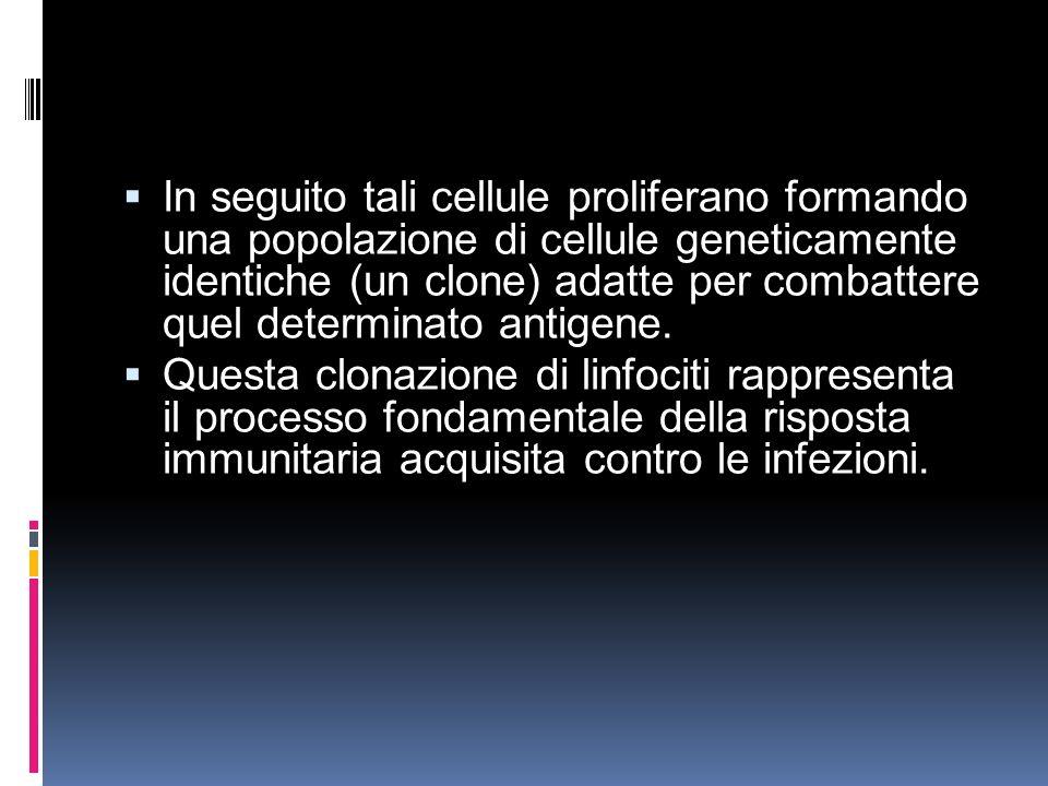 In seguito tali cellule proliferano formando una popolazione di cellule geneticamente identiche (un clone) adatte per combattere quel determinato antigene.