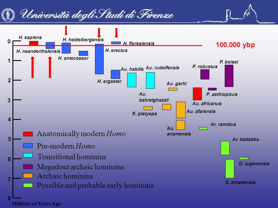 Transitional hominins Megadont archaic hominins Archaic hominins