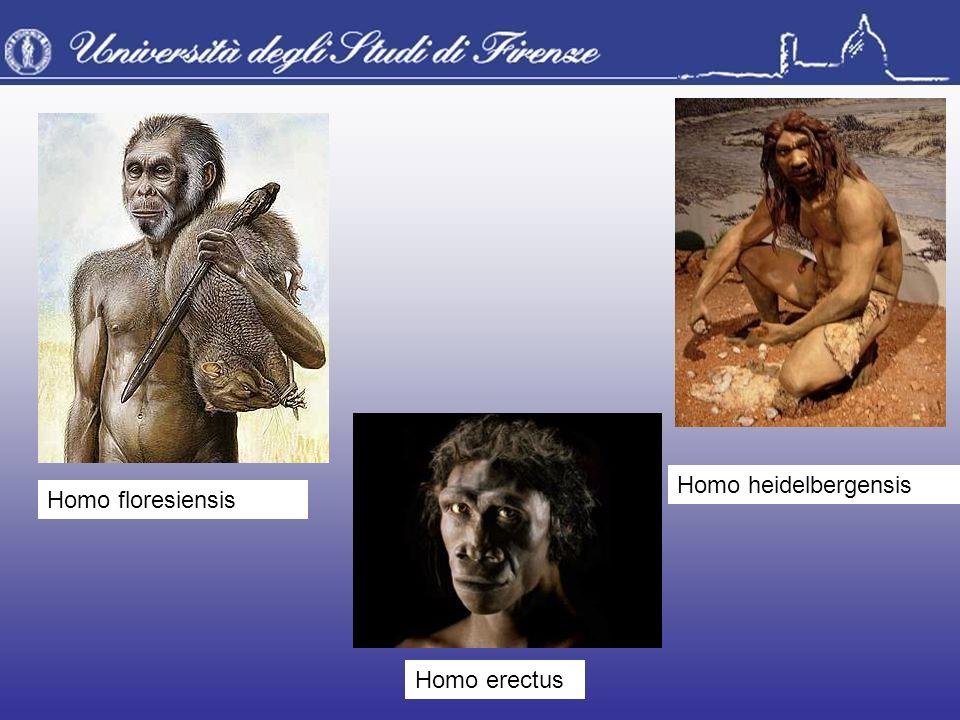 Homo heidelbergensis Homo floresiensis Homo erectus