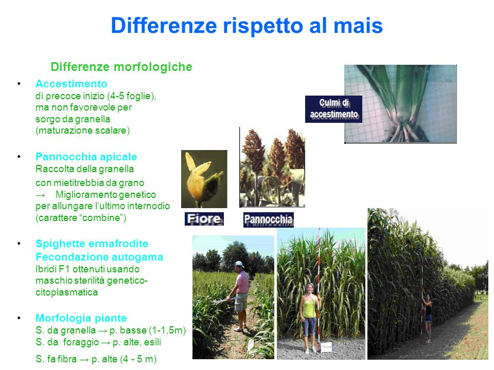 Differenze rispetto al mais Differenze morfologiche