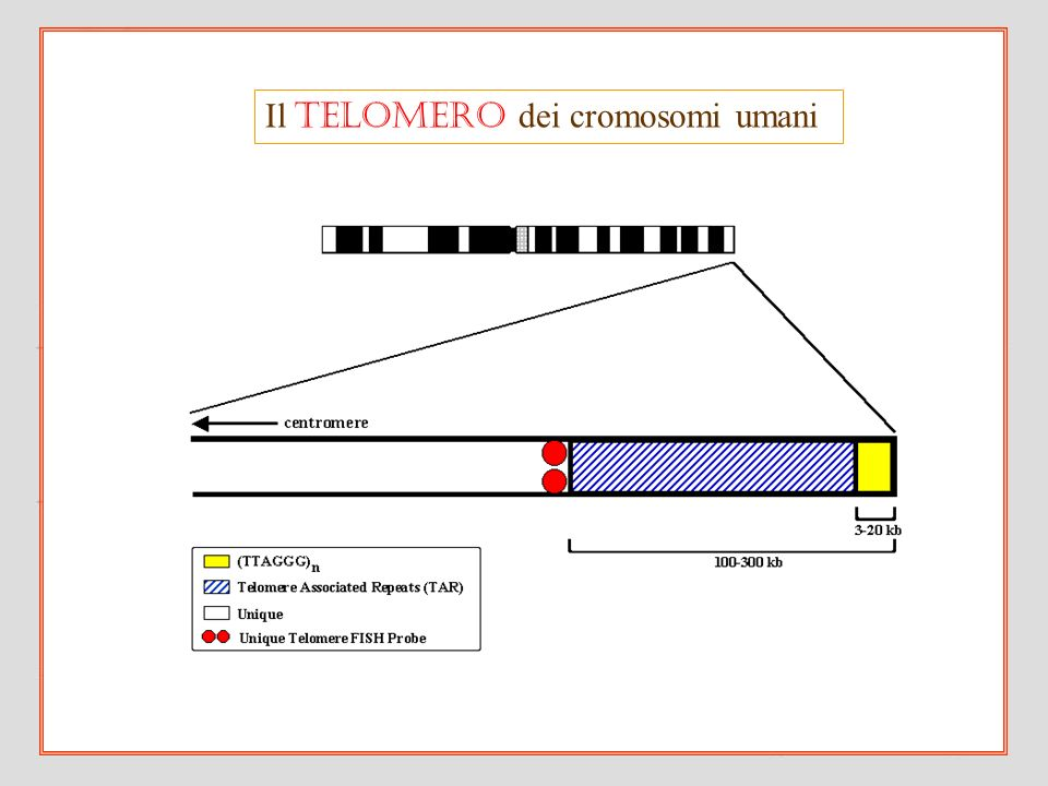 Il telomero dei cromosomi umani