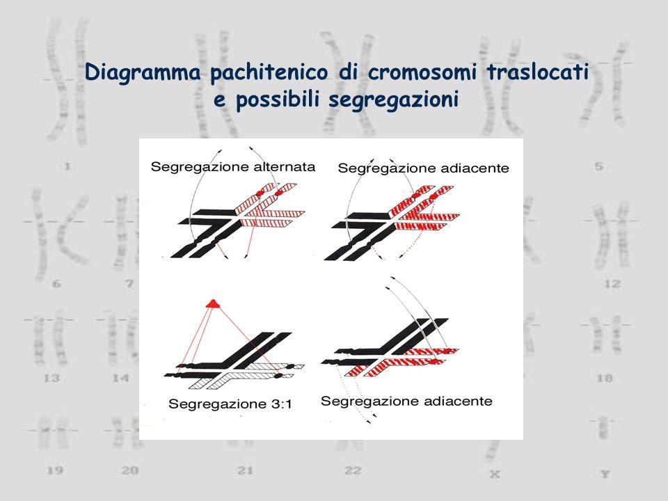 Diagramma pachitenico di cromosomi traslocati e possibili segregazioni