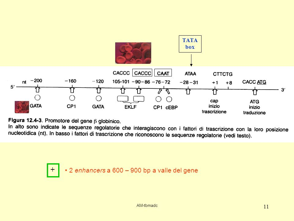 + 2 enhancers a 600 – 900 bp a valle del gene TATA box
