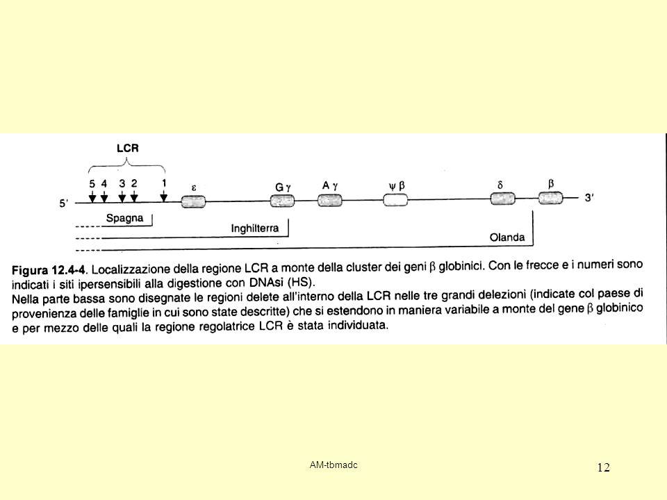 LCR interagisce con promoter beta formando un'ansa